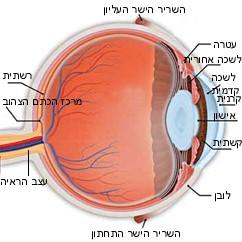 האנטומיה של העין